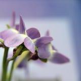 Flovers azuis Imagens de Stock