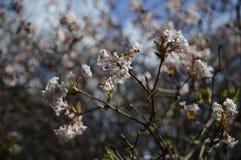 Flovers brancos do farreri do viburnum fotos de stock royalty free