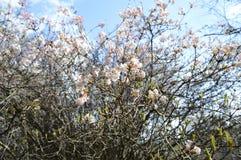 Flovers brancos do farreri do viburnum imagem de stock royalty free