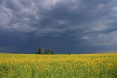 Flovers and dark sky. Yellow flover field and dark sky Royalty Free Stock Photo
