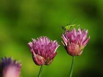 Flovers e gafanhoto do cebolinho Fotografia de Stock Royalty Free