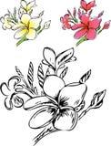 Flovers frangipani. Stock Images