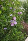 Flovers lilás de florescência Foto de Stock Royalty Free