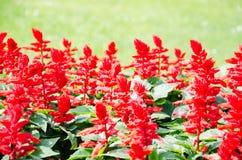 Flovers rossi decorativi luminosi Immagini Stock