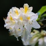 Flovers tropicais do rododendro Imagens de Stock Royalty Free