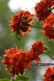 Flovers tropicais do rododendro Imagens de Stock