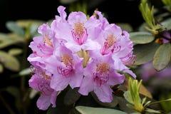 Flovers tropicais do rododendro Foto de Stock Royalty Free
