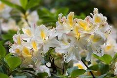 Flovers tropicais do rododendro Imagem de Stock Royalty Free
