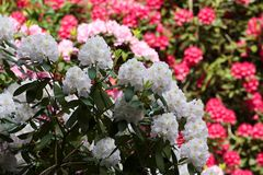 Flovers tropicais do rododendro Fotos de Stock