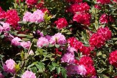 Flovers tropicais do rododendro Fotografia de Stock Royalty Free