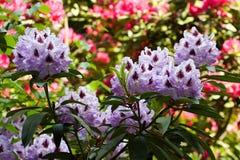 Flovers tropicais do rododendro Foto de Stock