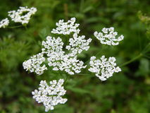Flovers växter Arkivfoton