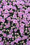 Flovers violetas Fotografia de Stock