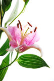 flowe ροζ Στοκ φωτογραφίες με δικαίωμα ελεύθερης χρήσης