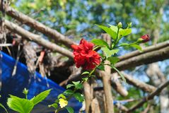 The flowe. The Beauty of flower in the forest. this forest located in the longest mangrove forest sundharban Stock Photo