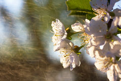 Flowe blanc de cerise photos libres de droits