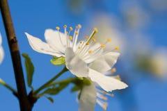 Flowe branco da cereja imagens de stock
