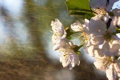 Flowe branco da cereja fotos de stock royalty free