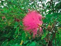 Flowe de punta rosado fotografía de archivo