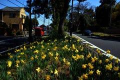 Flowe del narciso/paisaje japonés en marzo Fotos de archivo