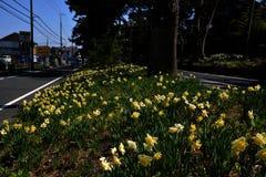 Flowe del narciso/paisaje japonés en marzo Fotos de archivo libres de regalías