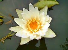 Flowe di fioritura del loto Fotografia Stock