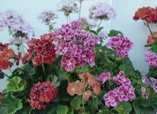 Flowe för växt för blommande lila röd för flora för blad för rhododendron för färg för träd för pelargoniakronbladpetunia för bus Royaltyfri Foto