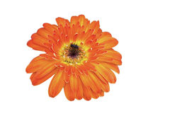 Flowe. R isolated on white background Royalty Free Stock Photography