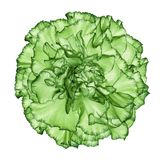 Flowe  green carnation  on a white isolated background with clipping path.   Closeup.  No shadows.  For design. Nature Royalty Free Stock Photos