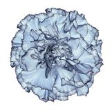 Flowe light blue  carnation  on a white isolated background with clipping path.   Closeup.  No shadows.  For design. Nature Stock Images