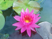 Flowe rose de lotus Photo libre de droits