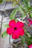 Flowe tropicale del giglio della rosa del deserto o di impala di rossi carmini Fotografia Stock