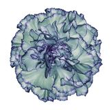 Flowe turquoise-violet  carnation  on a white isolated background with clipping path.   Closeup.  No shadows.  For design. Nature Stock Photography