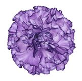 Flowe violet  carnation  on a white isolated background with clipping path.   Closeup.  No shadows.  For design. Nature Stock Photo