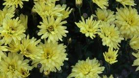 Floweers φθινοπώρου στον κήπο απόθεμα βίντεο