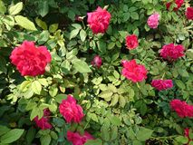 Flower​ in the garden. Red rose light Royalty Free Stock Photos