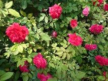 Flower†‹in de tuin Royalty-vrije Stock Foto's