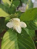 Flowerâ€-‹of†‹Guave tree†‹ stockfotografie