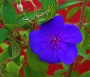 Flower, Tibouchina urvilleana,紫色荣耀灌木公主 Midveins,花 库存照片