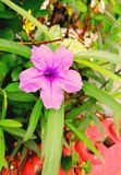 Flower. ์Hygrophila guadrivalvis Nees Royalty Free Stock Photo