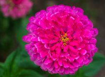 The flower сynicism pink color in the garden. Blossoming pink cynicism close-up. royalty free stock images