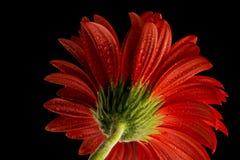 Flower. A Gerbera flower on a black background Stock Photos