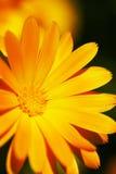 Flower. Bright orange flower close-up shot Royalty Free Stock Photos
