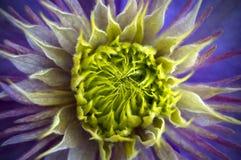 Flower. Close up of a clemantis flower Stock Photos