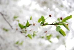 Flower. Ruddy cherry tree in spring Royalty Free Stock Photos