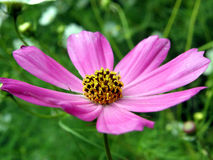 Flower. Purple flower growing in the garden Stock Image