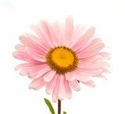 Flower. Yellow flover over white background Stock Images