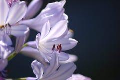 Flower. A purple flower from a garden Stock Photos