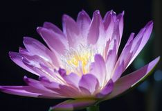 Flower. Closeup of a purple waterlily Stock Photography