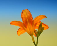 Flower. Orange lily flower under the blue sky Royalty Free Stock Images